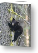 Black Bear Climbing Tree Greeting Cards - American Black Bear Ursus Americanus Greeting Card by Rich Reid