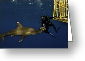 Scientists Greeting Cards - An Oceanic Whitetip Shark Swims Greeting Card by Brian J. Skerry