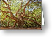 Low Country Greeting Cards - Angel Oak Tree Greeting Card by Drew Castelhano