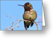S. California Greeting Cards - Annas Hummingbird - Male  Greeting Card by Carl Jackson
