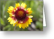 Tickseed Greeting Cards - Annual Coreopsis Coreopsis Tinctoria Greeting Card by Matthias Breiter