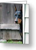 Doberman Greeting Cards - Attentive Greeting Card by Rita Kay Adams