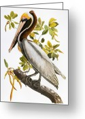 Artcom Greeting Cards - Audubon: Pelican Greeting Card by Granger