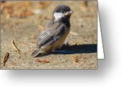 Little Bird Greeting Cards - Baby Chickadee Greeting Card by David  Naman