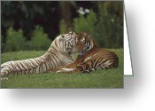 Morph Photo Greeting Cards - Bengal Tiger Panthera Tigris Tigris Greeting Card by Konrad Wothe