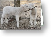 Sheep Greeting Cards - Best Friends Greeting Card by Warren Sarle
