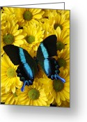 Bouquets Greeting Cards - Black and blue butterfly Greeting Card by Garry Gay