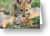 Biting Greeting Cards - Black-backed Jackal Canis Mesomelas Greeting Card by Suzi Eszterhas