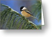 Tony Greeting Cards - Black-Capped Chickadee Greeting Card by Tony Beck