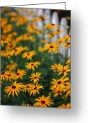 Black Eyed Susans Greeting Cards - Black-Eyed Susans Greeting Card by June Marie Sobrito
