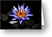 Water Lilly Greeting Cards - Black Pond Lilly Greeting Card by Steve McKinzie