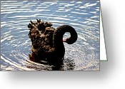 Waterbird Greeting Cards - Black Swan  Greeting Card by Blair Stuart