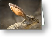 Captive Animals Greeting Cards - Black-tailed Jackrabbit Lepus Greeting Card by Joel Sartore