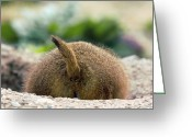 Prairie Dog Greeting Cards - Black-tailed Prairie Dog Greeting Card by Bob Gibbons