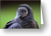 Black Bird Greeting Cards - Black Vulture Portrait Greeting Card by Bruce J Robinson