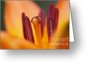 Anther Greeting Cards - Bloom Of Lily Greeting Card by Michal Boubin