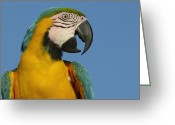 Talking Birds Greeting Cards - Blue And Yellow Macaw Ara Ararauna Greeting Card by Pete Oxford