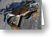 Blue Crab Greeting Cards - Blue Crab Greeting Card by Jana Goode