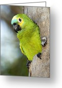Amazon Greeting Cards - Blue-fronted Parrot Greeting Card by Tony Camacho