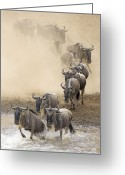 Maasai Mara Greeting Cards - Blue Wildebeest Connochaetes Taurinus Greeting Card by Winfried Wisniewski