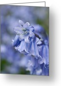 Endymion Greeting Cards - Bluebells (hyacinthoides Hispanica) Greeting Card by Adrian Bicker