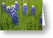 State Flowers Greeting Cards - Bluebonnets Greeting Card by Mae Photography