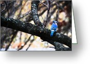 Bluejay Birds Greeting Cards - BlueJay Greeting Card by Simone Hester