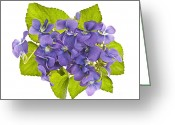 Green Leaves Greeting Cards - Bouquet of violets Greeting Card by Elena Elisseeva