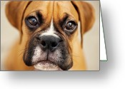 Camera Greeting Cards - Boxer Puppy Greeting Card by Jody Trappe Photography