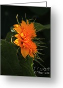 Teddybear Greeting Cards - Bright Orange Teddybear Sunflower Greeting Card by Marjorie Imbeau