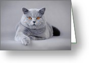 Playful Kitten Greeting Cards - British shorthair cat Greeting Card by Waldek Dabrowski