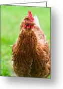 Hen Greeting Cards - Brown hen on a lawn Greeting Card by Ulrich Schade