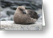 Skua Greeting Cards - Brown Skuas Greeting Card by Louise Murray