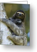 Newborn Greeting Cards - Brown-throated Three-toed Sloth Greeting Card by Suzi Eszterhas