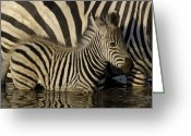Waterhole Greeting Cards - Burchells Zebra Equus Burchellii Foal Greeting Card by Pete Oxford