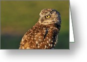 Burrowing Owl Greeting Cards - Burrowing Owl Greeting Card by Martina Thompson