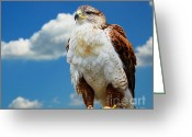 Colour Image Greeting Cards - Buteo regalis Greeting Card by Gabriela Insuratelu