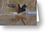 Canada Goose Greeting Cards - Canada Goose Landing c0255a Greeting Card by Paul Lyndon Phillips