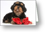 Cross Breed Greeting Cards - Cavapoo Pup With Roses Greeting Card by Mark Taylor