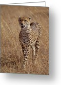 Acinonyx Greeting Cards - Cheetah Acinonyx Jubatus Portrait Greeting Card by Gerry Ellis