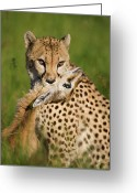 Acinonyx Greeting Cards - Cheetah Acinonyx Jubatus With Its Kill Greeting Card by Suzi Eszterhas
