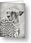 Black And White Cat Greeting Cards - Cheetah Greeting Card by Adam Romanowicz