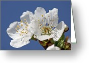 Flower Blossom Greeting Cards - Cherry Blossom (prunus Sp.) Greeting Card by Bjorn Svensson