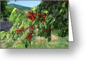 Cherries Greeting Cards - Cherry tree Greeting Card by Bernard Jaubert