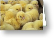 Gallus Gallus Greeting Cards - Chicks Greeting Card by David Aubrey