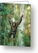 Looking At Camera Greeting Cards - Chimpanzee Pan Troglodytes Juvenile Greeting Card by Cyril Ruoso