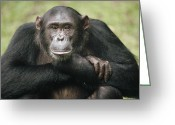 African Animals Greeting Cards - Chimpanzee Pan Troglodytes Portrait Greeting Card by Gerry Ellis