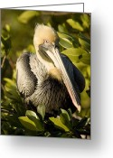 Contact Greeting Cards - Closeup Portrait Of A Brown Pelican Greeting Card by Tim Laman