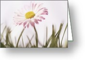 Bellis Greeting Cards - Common Daisy (bellis Perennis) Greeting Card by Cristina Pedrazzini