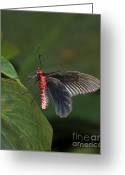 Black Wings Greeting Cards - Common Rose Butterfly Greeting Card by Louise Heusinkveld